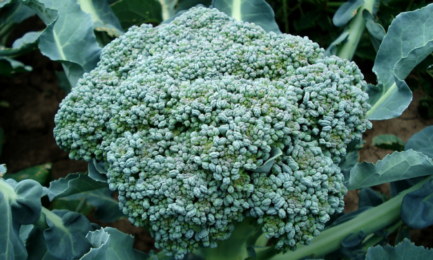 Could a Chemical in Broccoli Help Treat Diabetes Mellitus?
